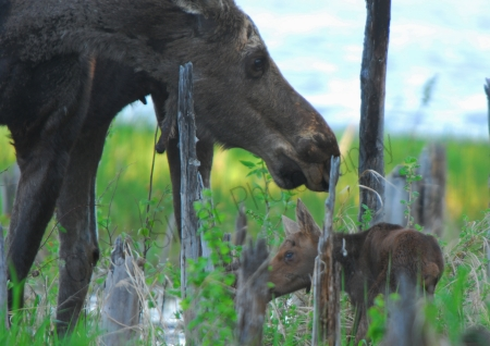 moose-mom-and-newborn-calf.jpg