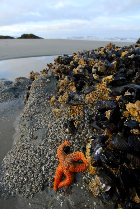 ochre-star-mussels-and-beach.jpg