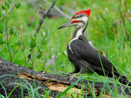 pileated-woodpecker.jpg