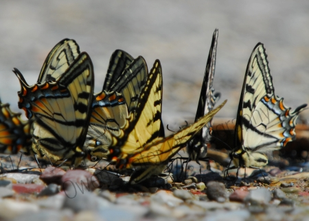 tiger-swallow-tail-gathering.jpg