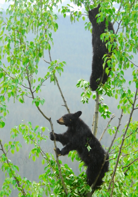 1yo-black-bear-cubs-in-tree.jpg