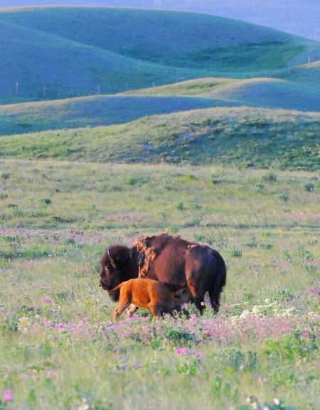 bison-and-baby-drinking.jpg