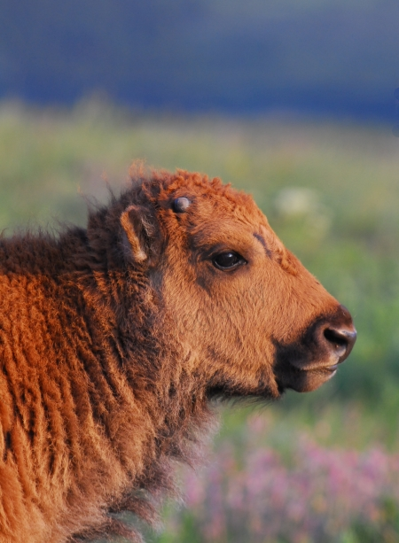 bison-calf.jpg