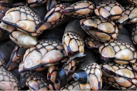 gooseneck-barnacles.jpg