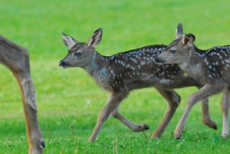 mule-deer-fawns.jpg