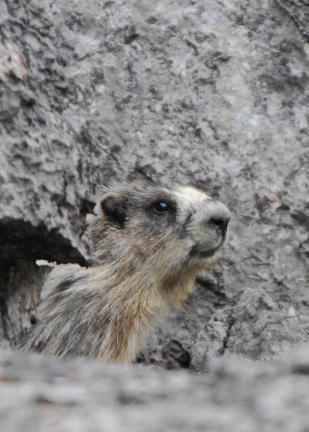 hoary-marmot.jpg