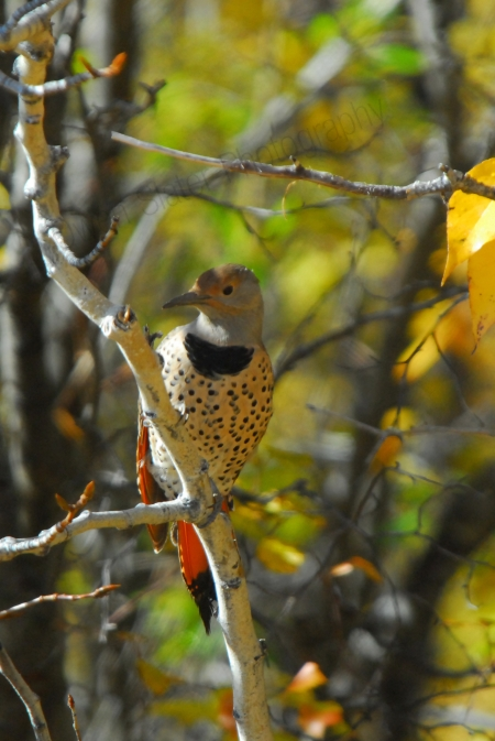 northern-flicker.jpg