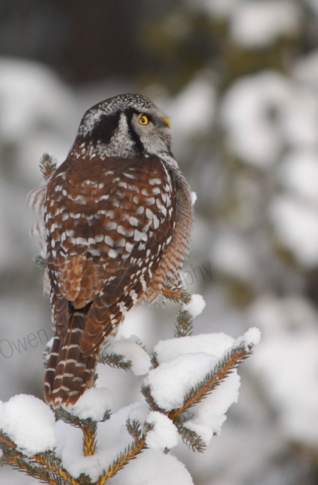 northern-hawk-owl.jpg