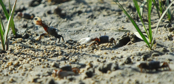 battle-of-the-crabs