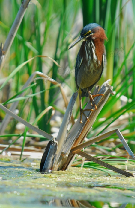 little-green-heron