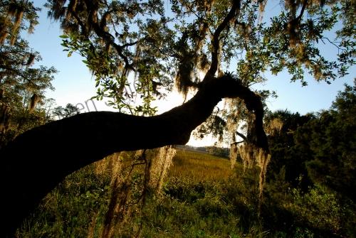 live-oak-and-spanish-moss