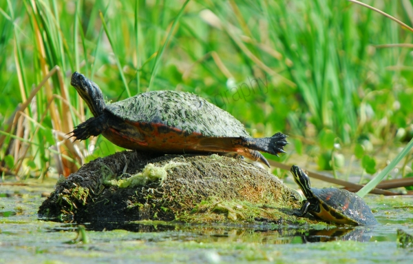 sunbathing-red-eared-sliders