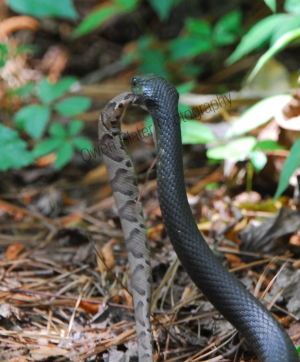 black racer carrying off a copperhead rattlesnake to finish eating