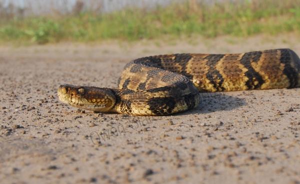 Canebrake rattlesnake 1