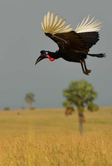 Abyssinian Ground Hornbill In Flight Owen Slater Photography