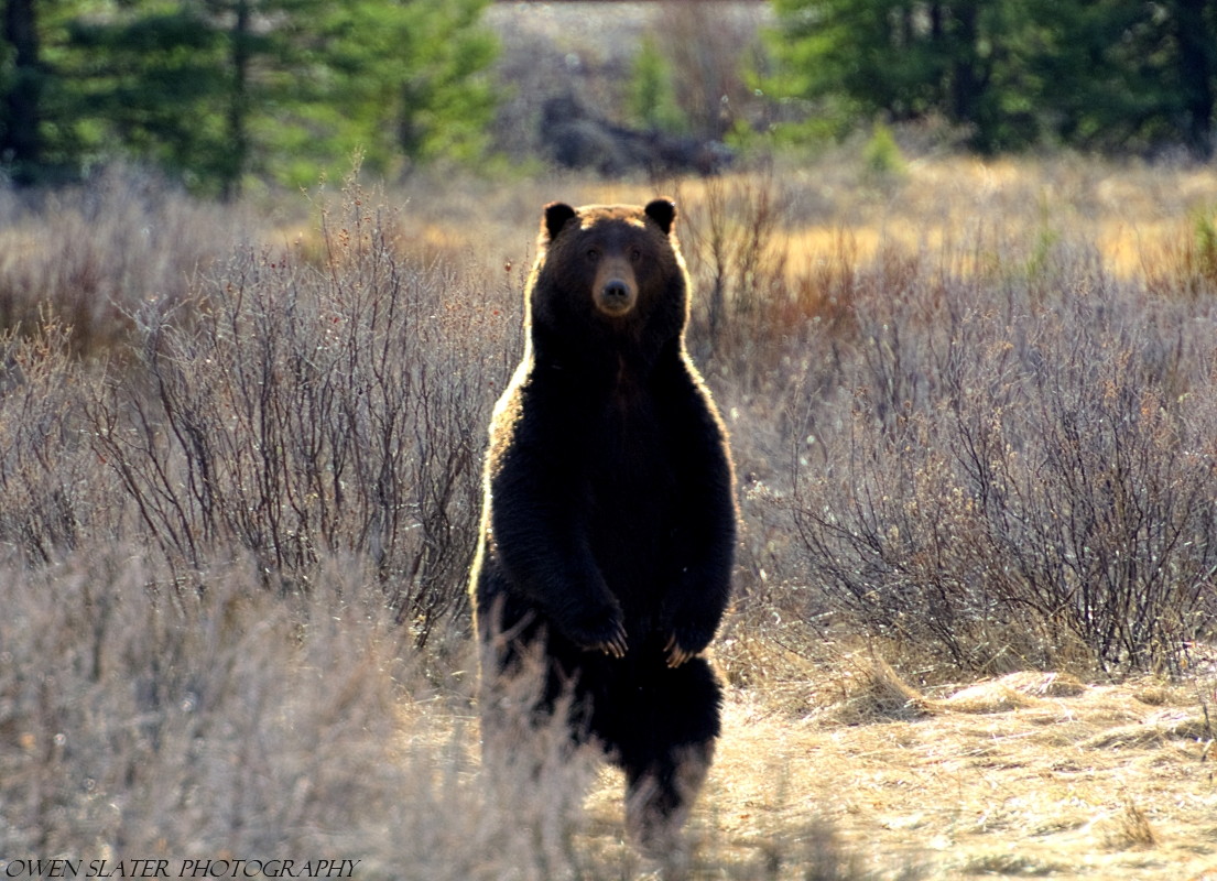 a study of grizzly bears If so, it would be the first reintroduction of grizzly bears in 2000, after years of political wrangling and a similar study.