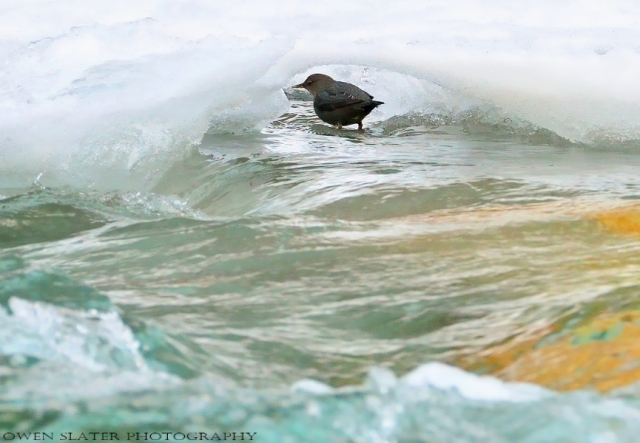 American dipper in ice cave watermark