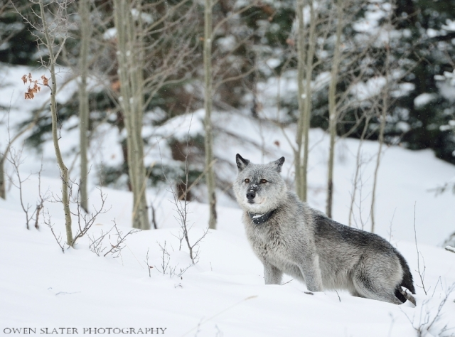 Wolf Faith Snow watermark
