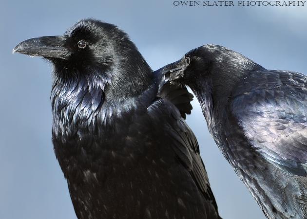 Grooming ravens watermark