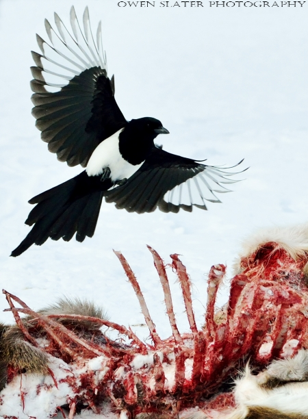 Magpie in flight deer carcass watermark