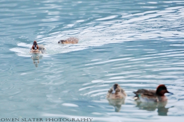 muskrat and ducks water 2 watermark