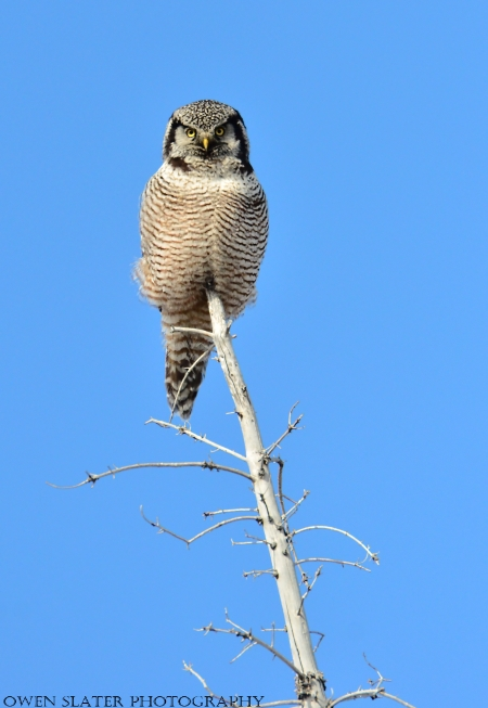 Northern Hawk Owl Tree watermark