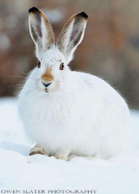 Prairie hare 2 watermark