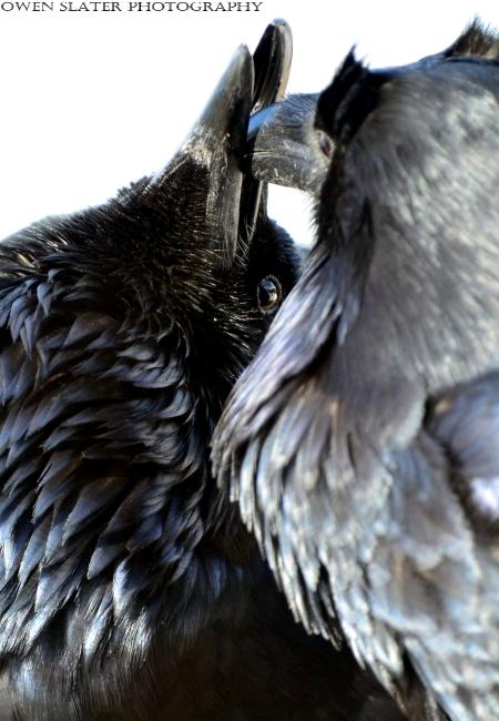 Ravens billing watermark