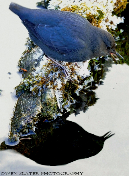 Dipper tongue out reflection log watermark