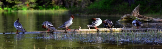 Mergansers on a log watermark