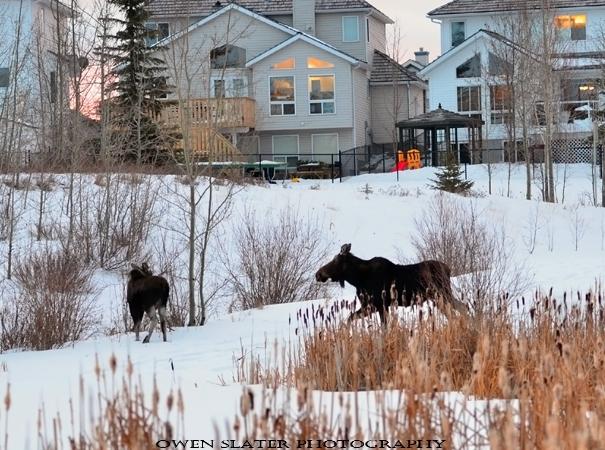 Moose on the loose watermark
