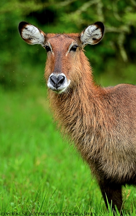 Waterbuck female vertical rain ss PS watermark