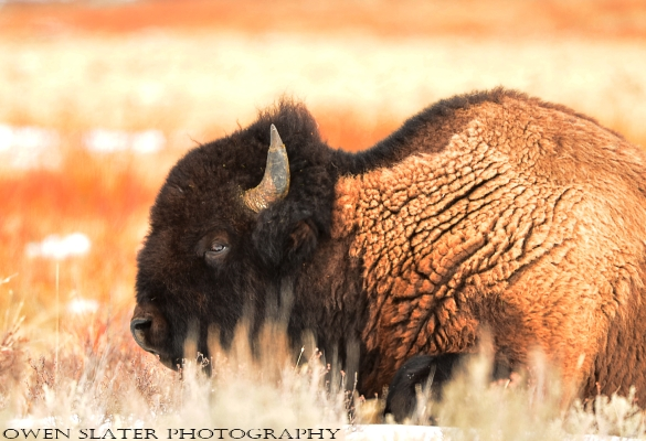 Bison soft light willows WM
