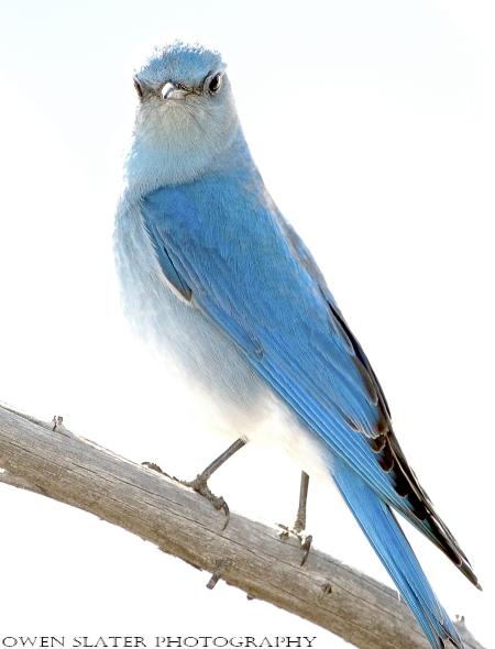 Bluebird WM