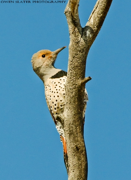 Northern flicker PS SS WM