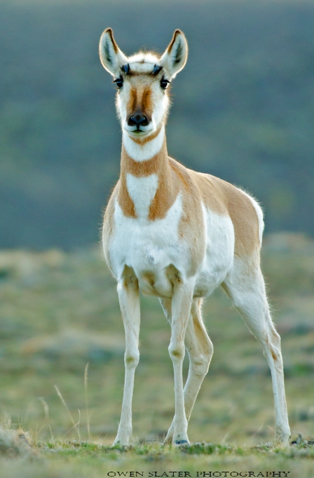 Pronghorn female stare WM