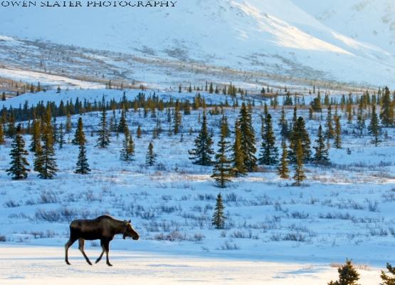 Moose Denali Landscape WM