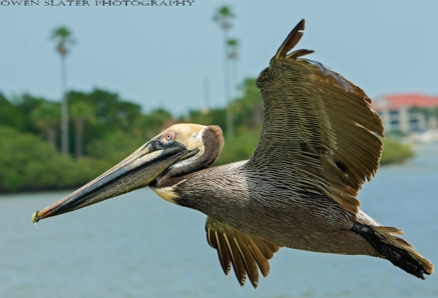 Pelican in flight WM