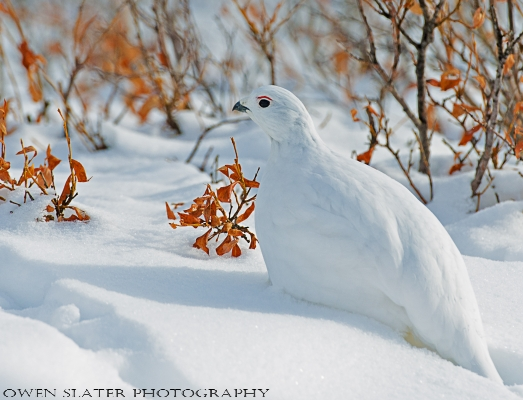 Ptarmigan willows horizontal WM