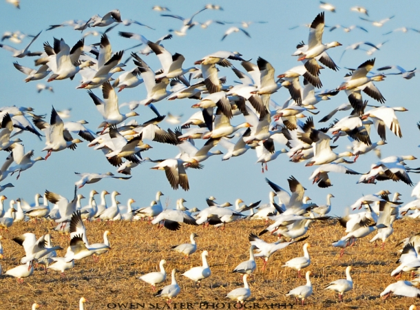 Snow geese standing and flight WM