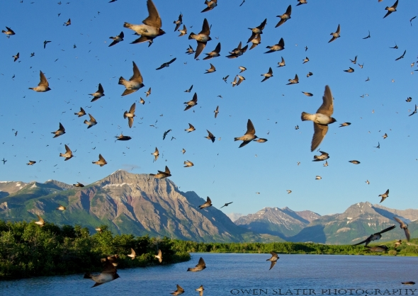 Barn swallow flock flight Waterton landscape WM