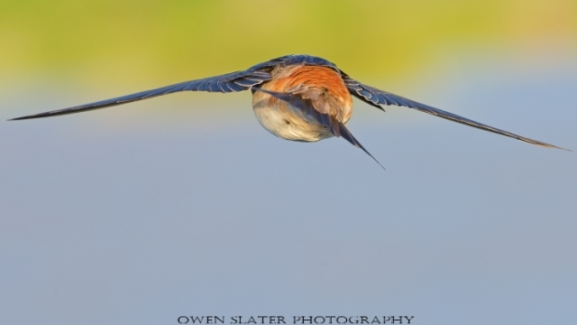 Barn swallow in flight 1 WM