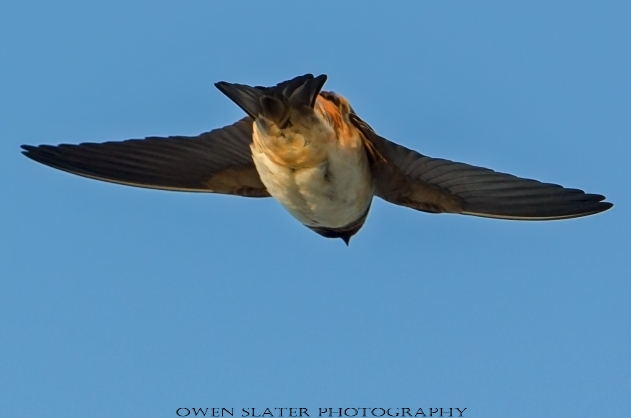 Barn swallow in flight 3 WM
