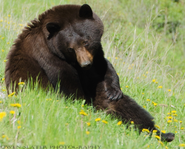 Black bear sitting and looking at dandelions WM