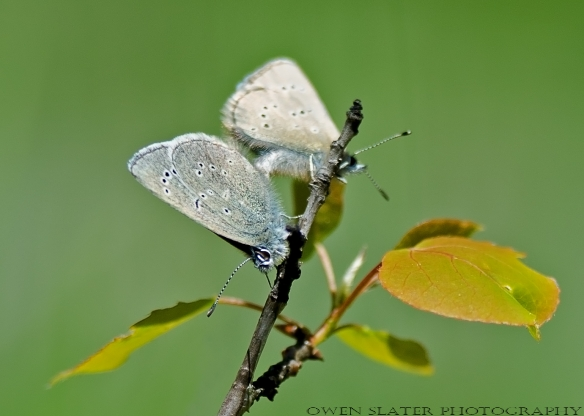 Silvery blue butterflies mating aspen sapling WM