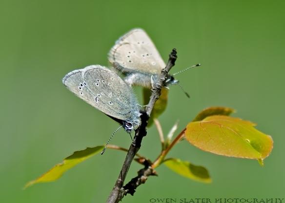 Silvery blue butterflies mating aspen sapling WM