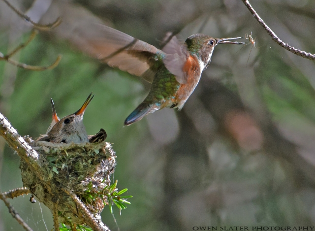 Rufous hummingbird flight spider fledglings final WM
