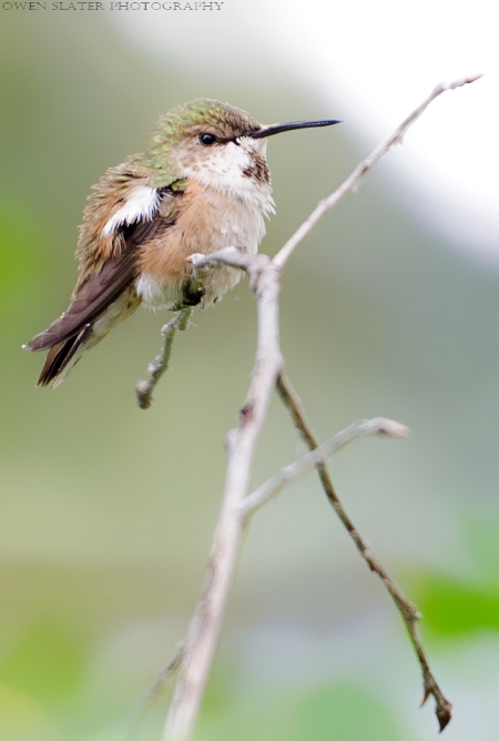 Rufous hummingbird perched WM