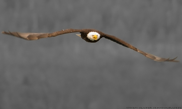 Bald eagle black frontal WM