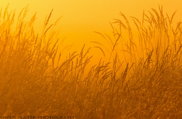 Golden Grasslands WM